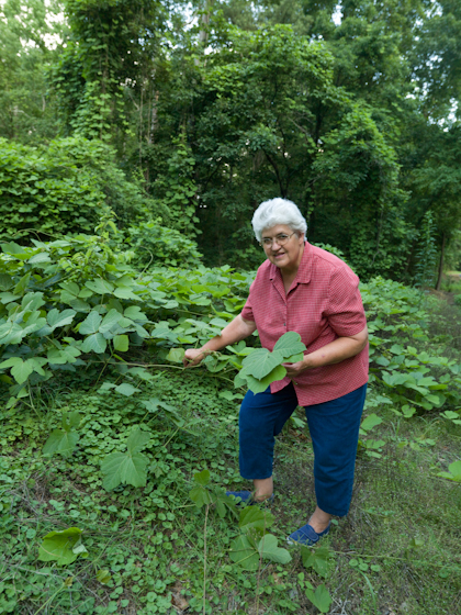 Bettye Kimbrell picking kudzu for leaf pounding, Mt. Olive, Alabama, 2008, photograph by Alan Govenar
