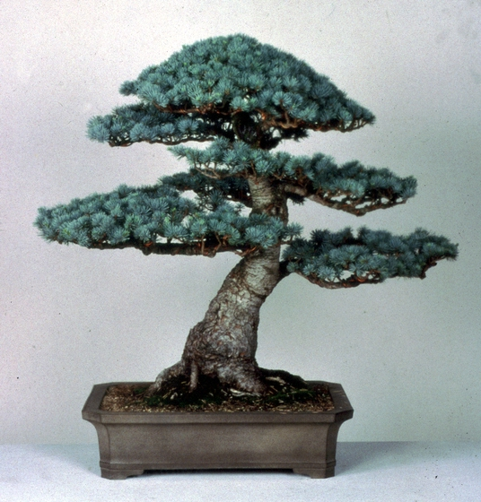Blue Atlas Cedar (*Cedrus atlantica* var. *glauca*), *bonsai* by John Naka, 1998, courtesy John Naka