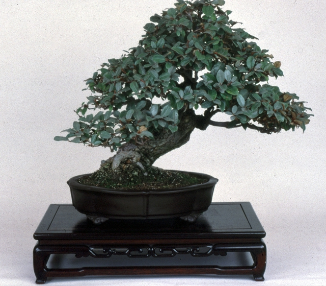 Silverberry (*Elaegnus macrophylia*), *bonsai* by John Naka, 1985, courtesy John Naka