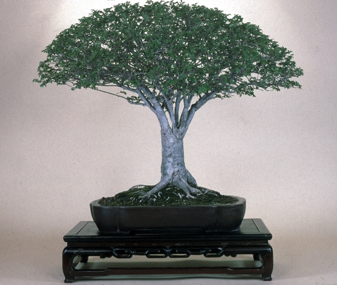 Chinese Elm (*Ulmus parvifolia*), *bonsai* by John Naka, 1995, courtesy John Naka