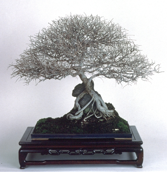Japanese Gray-Barked Elm (*Zelcova serrata*), *bonsai* by John Naka, 1995, courtesy John Naka