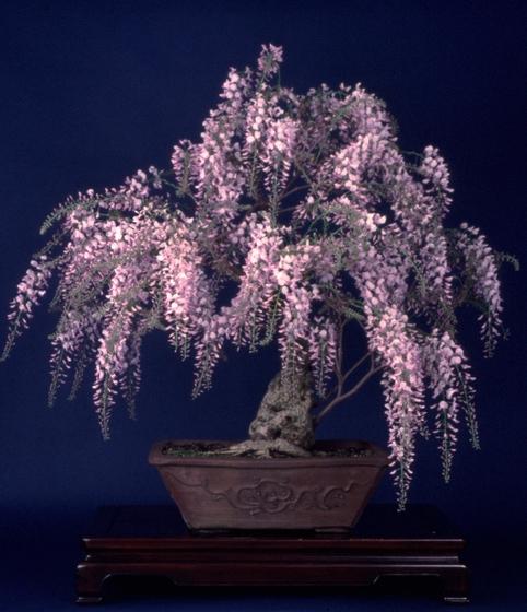 Chinese Wisteria (*leguminose sinensis*), *bonsai* by John Naka, 1986, courtesy John Naka