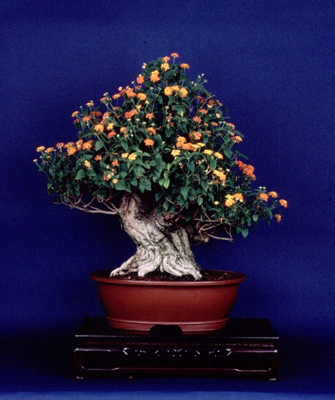 Yellow Flower Lantana (*lantana flava*), *bonsai* by John Naka, 1985, courtesy John Naka