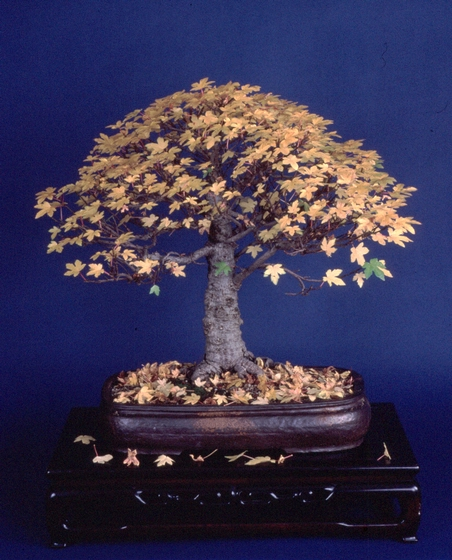 Oriental Sweet Gum (*liquidamber orientalis*), *bonsai* by John Naka, 1993, courtesy John Naka