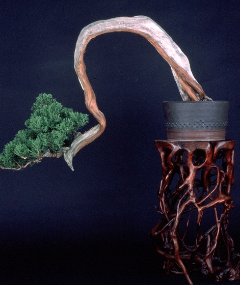 California Juniper (*Juniperus californica*), *bonsai* by John Naka, 1990, courtesy John Naka