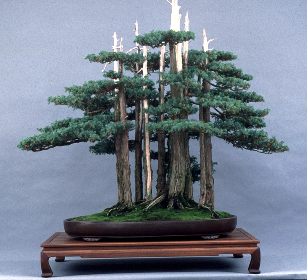 Needle Juniper (*Juniperus sinensis*), *bonsai* by John Naka, 1995, courtesy John Naka