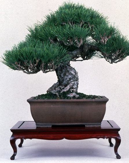 Japanese Black Pine (*Pinus thunbergii*, *bonsai* by John Naka, 1997, courtesy John Naka