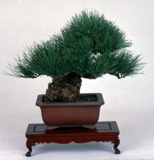 Cork-barked Black Pine (*Pinus thunbergii* var. *coticosa*), *bonsai* by John Naka, 1997, courtesy John Naka